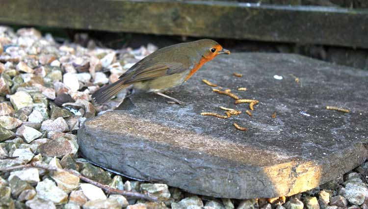 Dried mealworms for wild birds