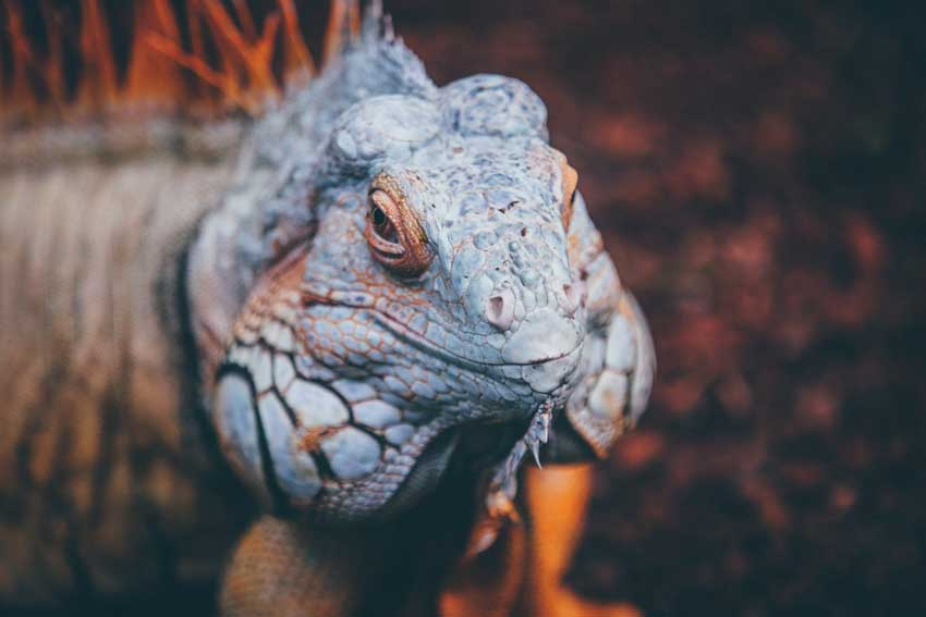 What do Bearded Dragons Eat? Atbuz