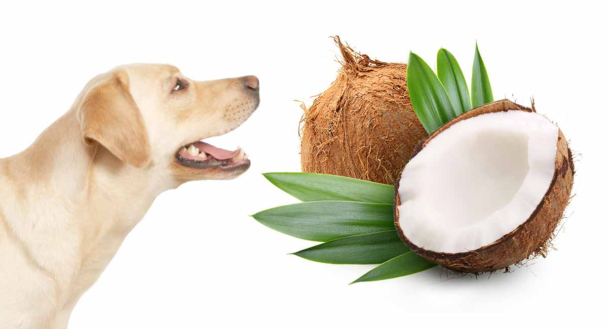 Is Coconut Oil Good For Dogs?