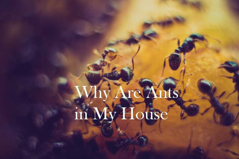 Why Are Ants in My House. Atbuz.com